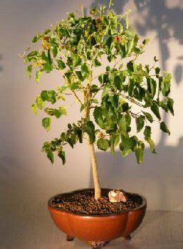 fruitless mulberry trees for sale flowering dwarf everbearing mulberry bonsai tree for sale morus nigra