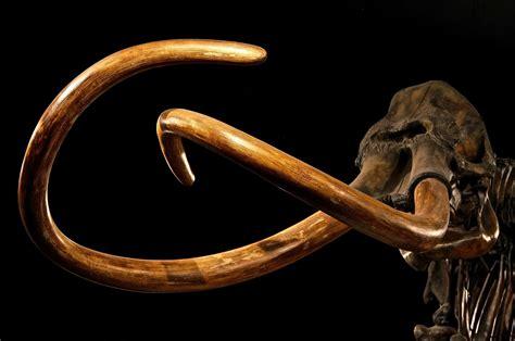 Animal Skeleton Wallpaper - black background skeleton mammoths animals mastadon