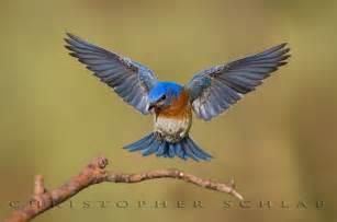 Flying Bluebird Tattoo