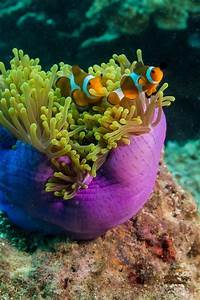 52 Best Images About Anemone We Love Anemononemonoomes