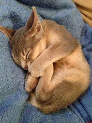 Baby Exotic Kittens