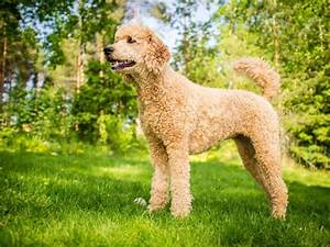 Shih Poo  Complete Guide On Shih Tzu And Poodle Mix