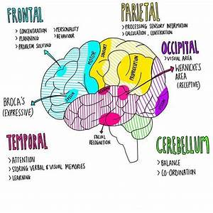 Anatomy And Function Of The Brain  Medschool  Doctor