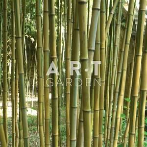 Gros Bambou Deco : bambou feuillage persistant ext rieur phyllostachys aureosculata alata ~ Teatrodelosmanantiales.com Idées de Décoration