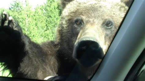 close  comfort grizzly bear climbs  car
