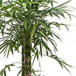Bambus Pflege Zimmerpflanze Bambus Pflege Bambus Buddhas Bauch