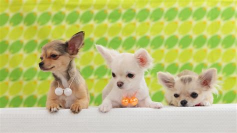 when do puppies open when do chihuahua puppies open their eyes reference com