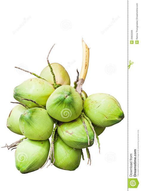 fruit green coconut royalty  stock images image
