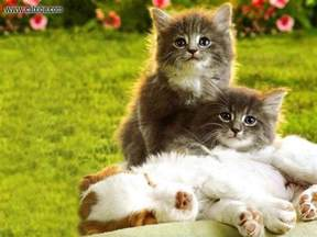 cat puppy puppies and kittens wallpapers wallpaper cave