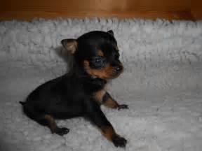 Miniature Pinscher Chihuahua Mix Puppies