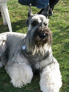 Giant Schnauzer salt and pepper...my next one!! | cute ...