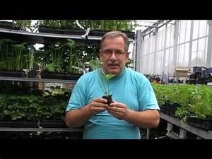 Erdbeeren Wann Pflanzen : einmaltragende erdbeeren wann und wie pflanzen youtube ~ Watch28wear.com Haus und Dekorationen