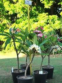 frangipani care in pots snow and other opg sights trees plumeria tree and other