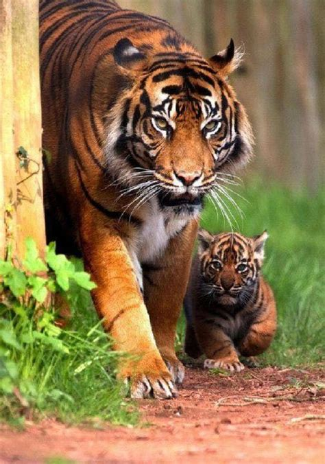Tiger With Cub Most Beautiful Pictures Amazing Nature