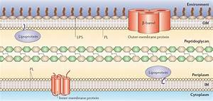 1  General Structure Of The E  Coli Cell Envelope Adapted