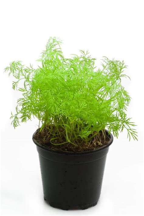 grow dill in pot growing dill how to grow dill harvesting dill