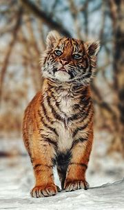 cute tiger cubs   Tumblr