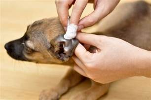 how to get rid of ear mites in cats how to get rid of ear mites in dogs tips from professionals