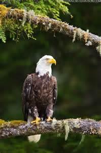 United States Bald Eagle Population