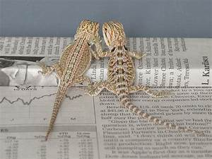 Genetic Stripe Bearded Dragons   Dachiu Bearded Dragons