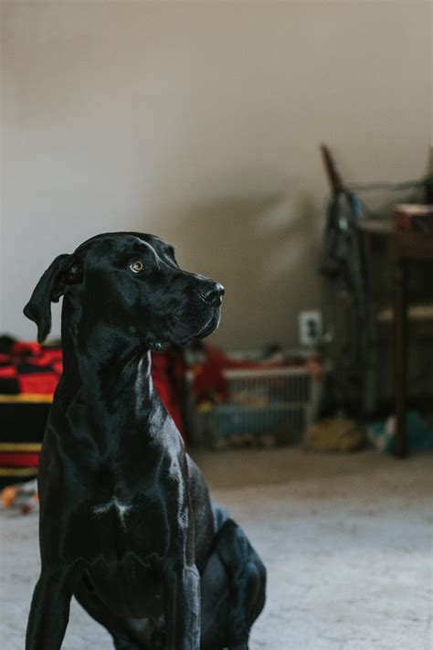 dog breed guide labrador retrievers dogs cats pets