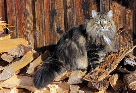 norwegian forest cat cat breeds encyclopedia