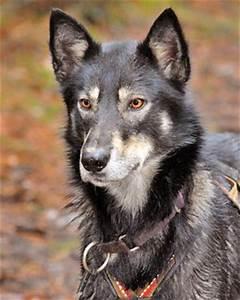 Alaskan Husky Breed Information