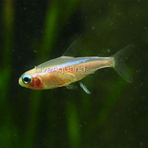 Tropical Fish for Freshwater Aquariums Gold Neon Tetra
