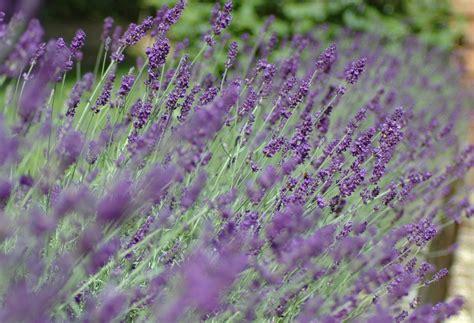 lavender hedge images garden posts lavender hedge