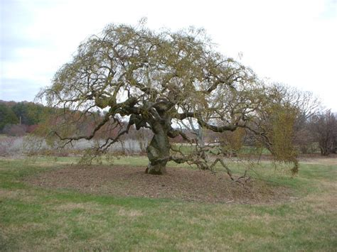 featured plant   month weeping japanese pagoda tree