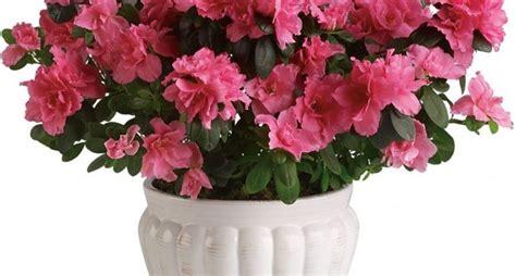 azalea coltivazione in vaso azalea azalea piante da giardino caratteristiche