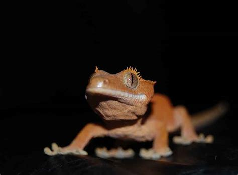crested gecko shedding behavior the appeal of the crested gecko