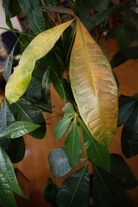 hortensien blätter werden braun pachira bl 228 tter werden gelb und braun