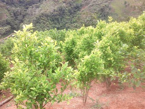 regierung und farc starten initiative gegen drogenanbau