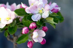 Free Photo Apple Tree Flowers Apple Blossom Apple Tree