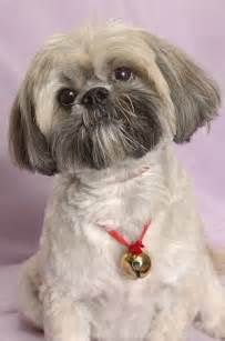 Lhasa Apso Breed Shedding by Lhasa Apsos What S Good About Em What S Bad About Em