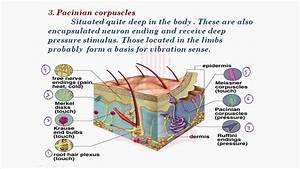 Skin Diagram Pacinian Corpuscle Images 728
