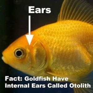 goldfish anatomy body eyes ears nose gills scales