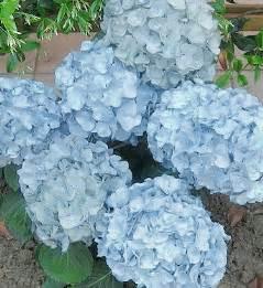 light blue flowers aquamarine dreams march s favorite flower color