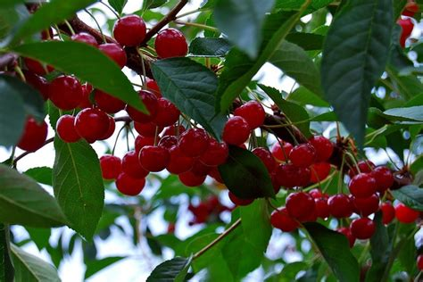 17 best images about cherry 17 best images about traverse city on cherry