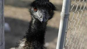 Weekly Calendar Online Emu Escapes In Yorkville Not Considered Dangerous Local