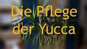 Yucca Palme Winterhart : pflege der yuccapalme youtube ~ A.2002-acura-tl-radio.info Haus und Dekorationen