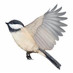 Black-capped Chickadee Identify - Whatbird.com