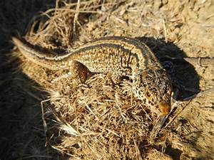 File:Island Night Lizard, San Nicolas Island, California ...