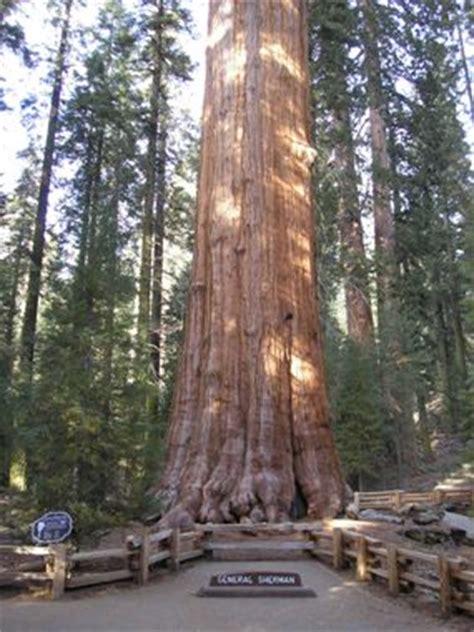 general sherman tree sequoia kings canyon national