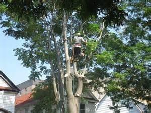 tree pruning tree trimming in tree services