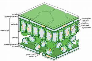 Palisade Cell