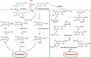 Melanogenesis Pathway  Production Of Eumelanin And Pheomelanin  13