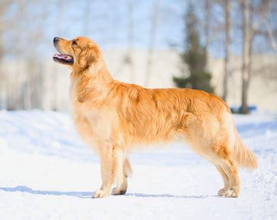 golden retriever hunderasse  hundeseitede
