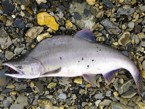 Scientists Study Spawning Salmon Through A Riverbed Lens